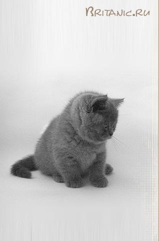 Родословную для британской кошки